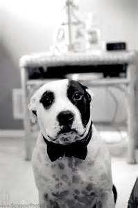 Pit Bull Dog Wedding
