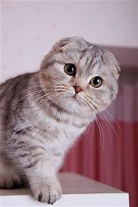 Scottish Shorthair | cute and fuzzy | Pinterest