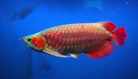 info arwana indonesia perlu patenkan ikan arwana super red