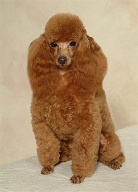 poodle haircuts  pet   love