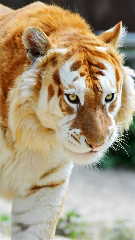 Tiger Htc One Wallpaper Best Wallpapers