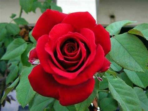 contoh gambar bunga mawar populer terkeren blog teraktual