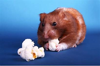 Hamster Syrian Pets Dore Animals Similaires Afficher