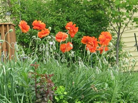 poppy flower garden pictures of poppies orange yellow pink and california