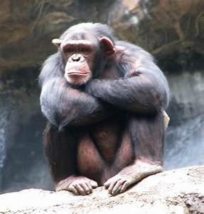 Common chimpanzee - Wikipedia