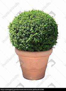 Buchsbaum Im Topf : buchsbaum kugel im terracotta topf freigestellt lizenzfreies foto 8114780 bildagentur ~ A.2002-acura-tl-radio.info Haus und Dekorationen