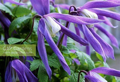 Clematis Alpina 'frances Rivis' Flowering In