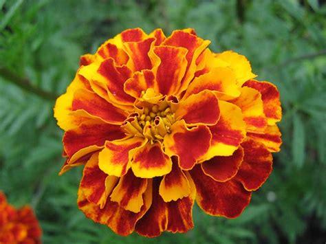 organic dried marigold flowers  starwest botanicals