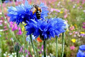 Cornflower blue   Fables and Flora