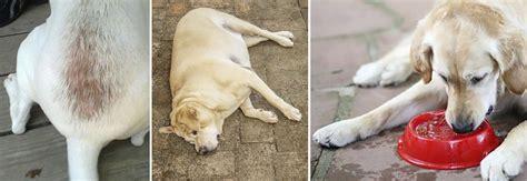 cushings disease   hand veterinary perspective