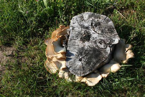 mushroom growing  cottonwood stump mushroom hunting