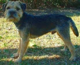border terrier facts pictures price and training dog