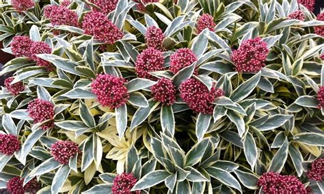 Hardy Evergreen Shrub Collection | Groupon Goods