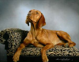 do wirehaired vizslas shed image gallery vizsla shedding