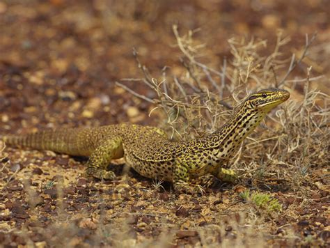 buy yellow spotted monitor image  print canvas