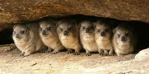 Hyrax History And Some Interesting Facts