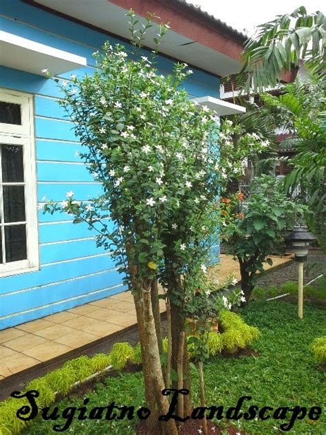 jual bonsai melati yasmin harga melati jasmine