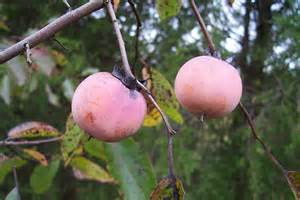 Wild Persimmon Tree Fruit