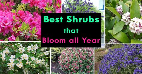 all year blooming flowers best shrubs that bloom all year foundation planting flowering shrubs and shrub