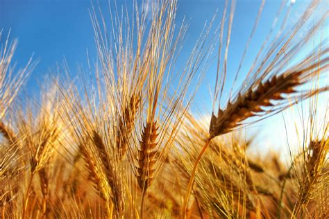 Learn About Grain Opportunities for the Futures of Wheat