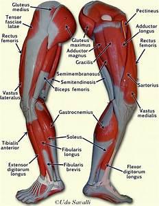 Diagram Of Leg Muscles - Oasis amor Fashion
