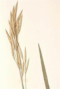 Bromus marginatus (large mountain brome): Go Botany