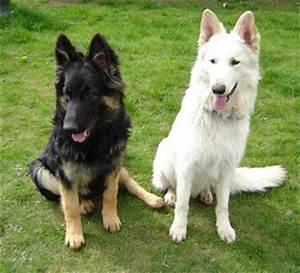 White And Black German Shepherd | Dog German Shepherds