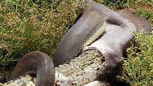 Snake eats Crocodile after 5 hour battle | wordlessTech