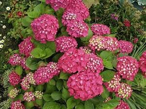 Hydrangea Macrophylla Winterhart : hydrangea macrophylla 39 rotkehlchen 39 hortensia ~ Michelbontemps.com Haus und Dekorationen