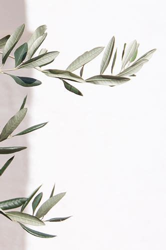 Aesthetic Olive Green Wallpaper Iphone by Simplicity Olive Trees Italy Ii Treehouse 2019