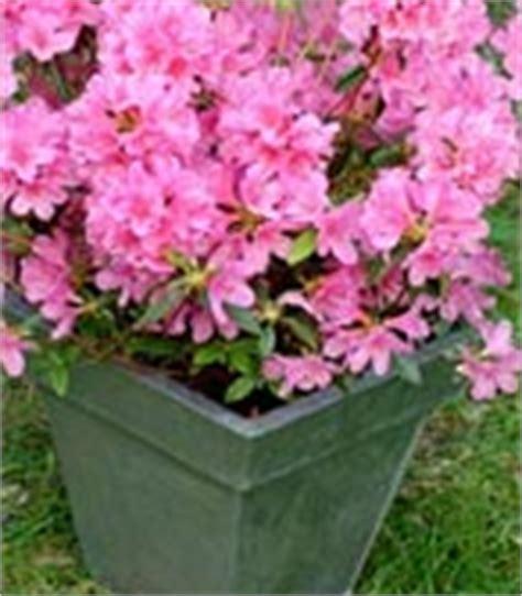 plantez azal 233 es et rhododendrons en bacs le magazine gamm vert