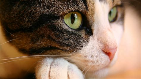 cat eyes wallpapers hd wallpapers id