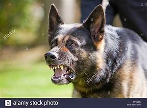 German Shepherd Growl | www.pixshark.com - Images ...