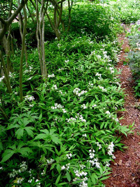 woody plants  shade part  carolyns shade gardens