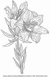 Coloring Pages Lily Flower Flowers Printable Bulb Drawing Colouring sketch template