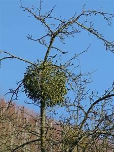 Mistletoe Mystification - Garden Matter