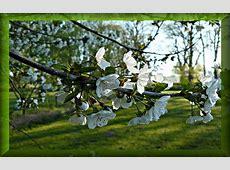 kostenlose Fruehlingsbilder Foto Kirschblüten Ast vom