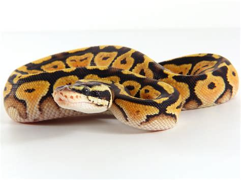 ball python heat l off at night baby ball python care sheet python regius the gourmet