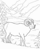Coloring Sheep Pages Bighorn Cute Sauti Pata October Comments sketch template