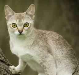 singapura cat singapura cat breed cat information pictures