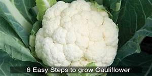 How To Grow Cauliflower At Home In Your Garden  U2013 Trustbasket