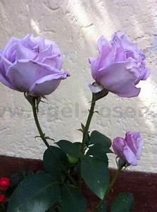 Mainzer Fastnacht Rose : mainzer fastnacht hybrid tea buy at agel rosen ~ Orissabook.com Haus und Dekorationen