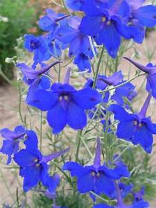 Delphinium Grandiflorum Delphiniums And Blue Butterfly On