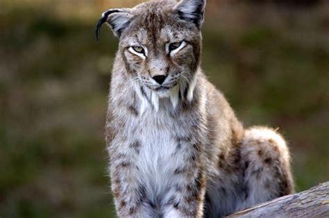 cuisine de l internaute lynx de sibérie 14 photos d 39 animaux du parc de thoiry