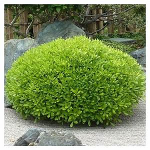 Plantes Exotiques Rustiques : pittosporum tobira 39 nana 39 jardin japonais arbuste en ~ Melissatoandfro.com Idées de Décoration