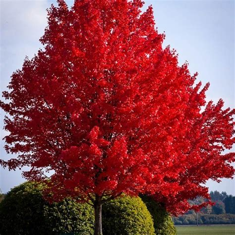 american red maple  sale  tree center