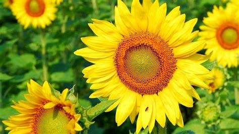 gambar wallpaper bunga matahari  wallpaperz
