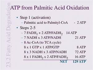 Net Atp Yield In Oxidation Of Palmitic Acid