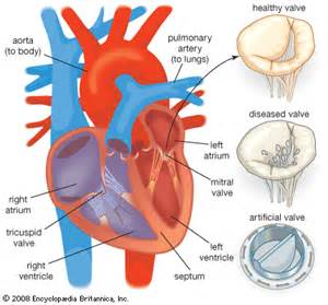 Human Heart Valves Diagram