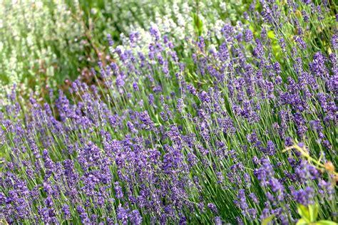 Gewürz Lavendel Pflege by Lavendel Lavandula Angustifolia Pflanzen Pflege